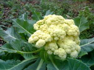Рецепты из цветной капусты.