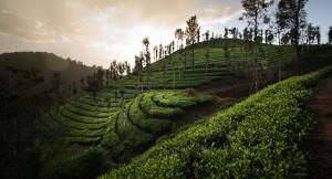 Чайная плантация высокогорного элитного чая