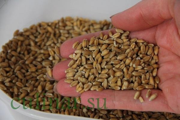 Как правильно прорастить пшеницу